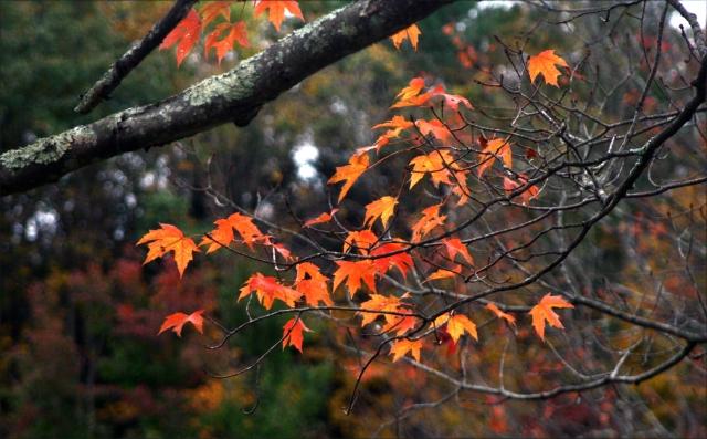 Maples on the wane 002, Kent Falls SPk