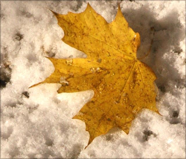 Maple snowrup