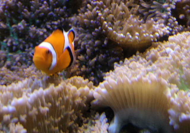 A clownfish in a coral circus, National Aquarium Baltimore