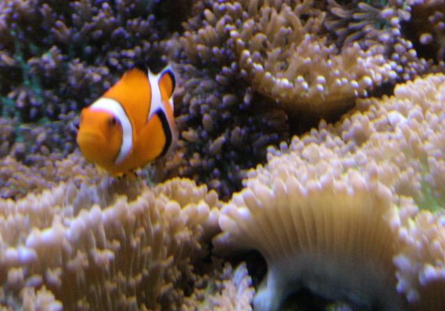 A clownfish in a coral circus, National Aquarium Baltimore