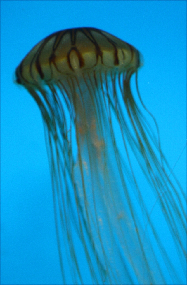 Jellyfish Series 001 Natl Aquarium