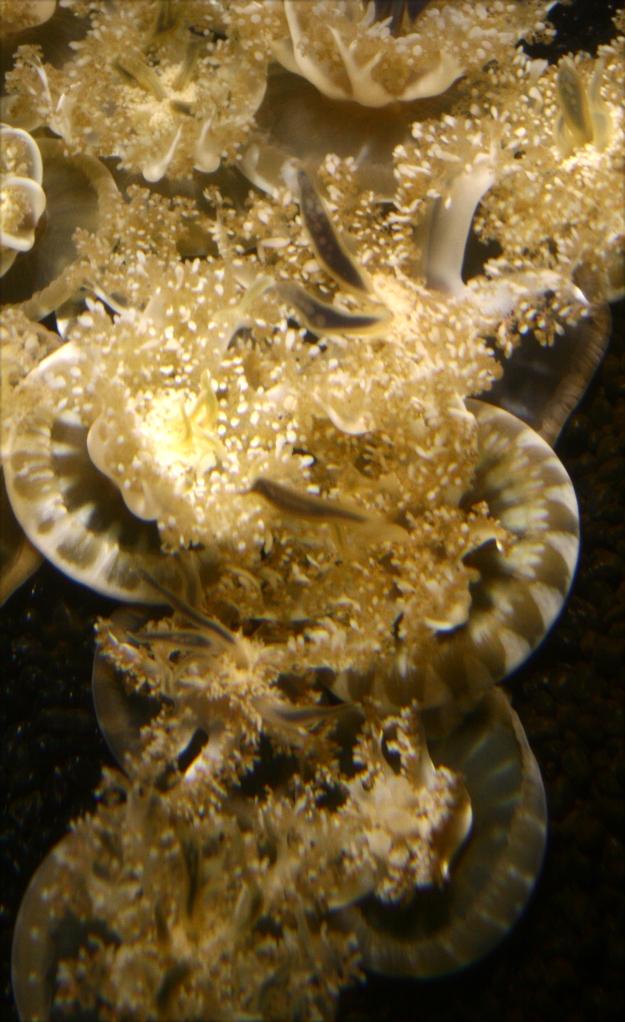 Jellyfish Series 006 Natl Aquarium