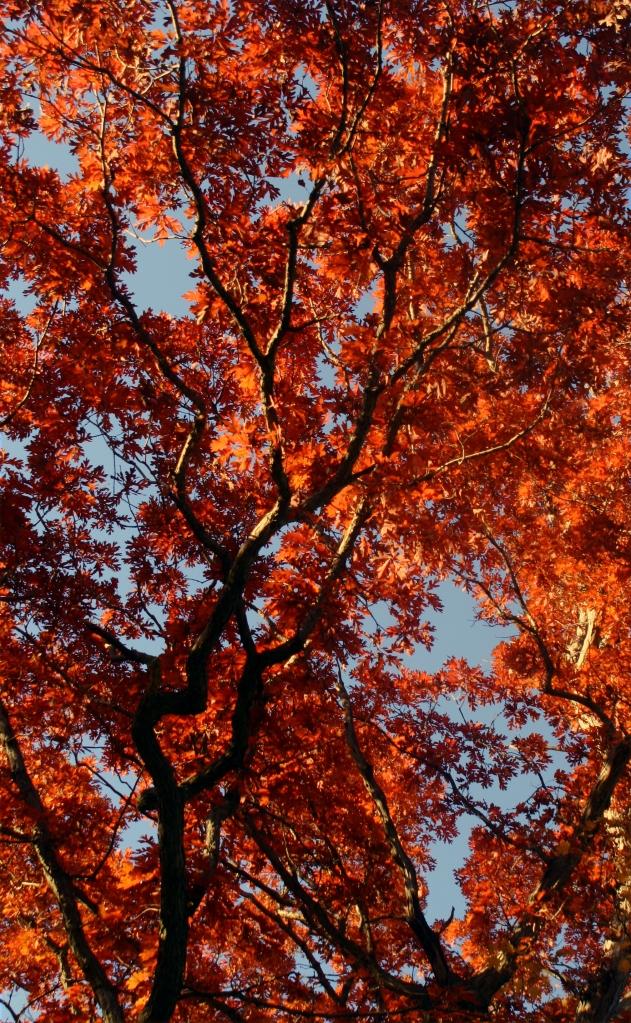 Crimson tide of Oak leaves, Baker Park Reserve