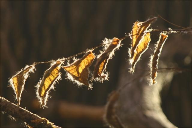 Fuzzy leaves, Baker Park Reserve