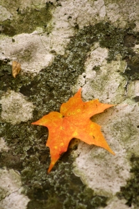maple on rock, Interstate Park, MN