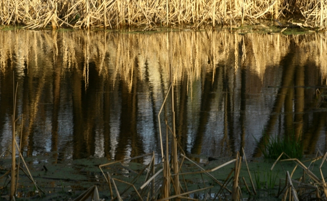 Marsh madness, late sun on cattails and tree reflections, Turtle Lake