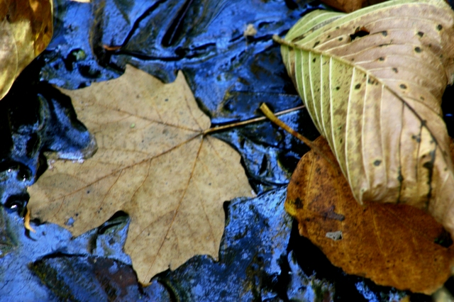 Metallic blue and fallen leaves, Kathio State Park