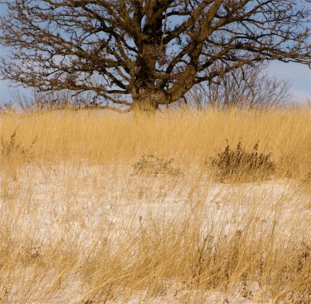 Oak and golden grasses of winter
