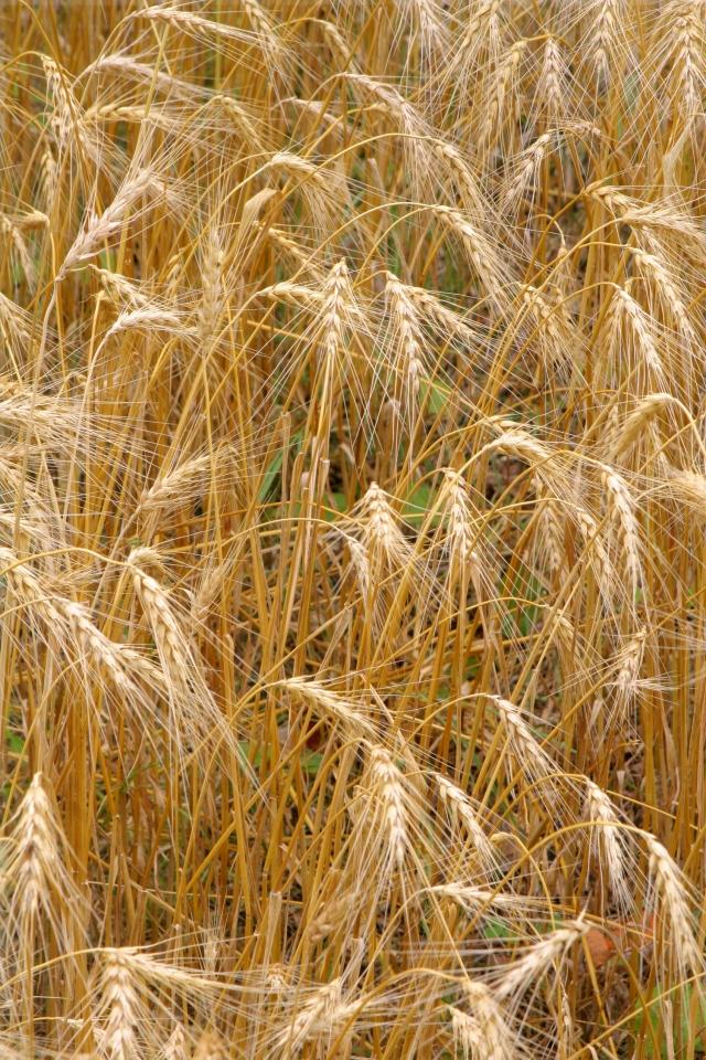 Stream of wheat, Eden Prairie