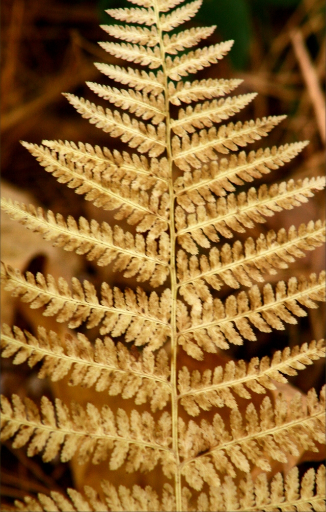Tanned fern, Kathio State Park