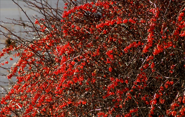 Winter of red berries