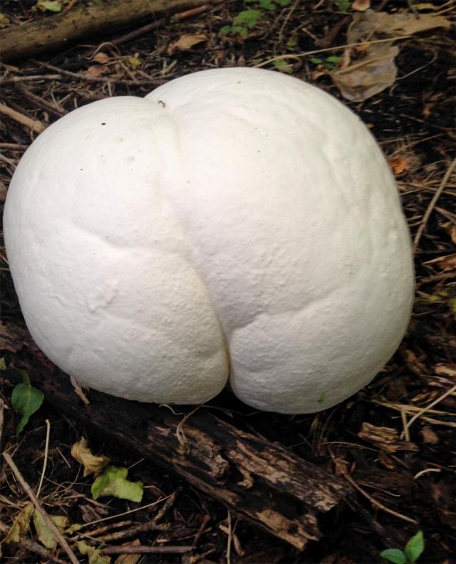 A big butt of puff ball fungus