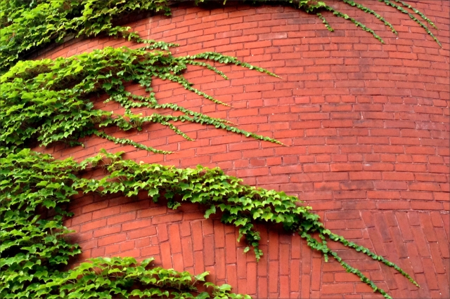 Armory wall and vines, Madison