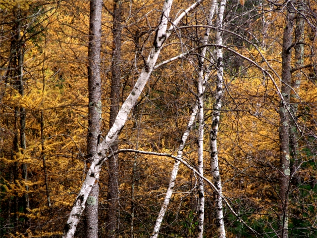 Birch and tamarack woods, Black River State Park