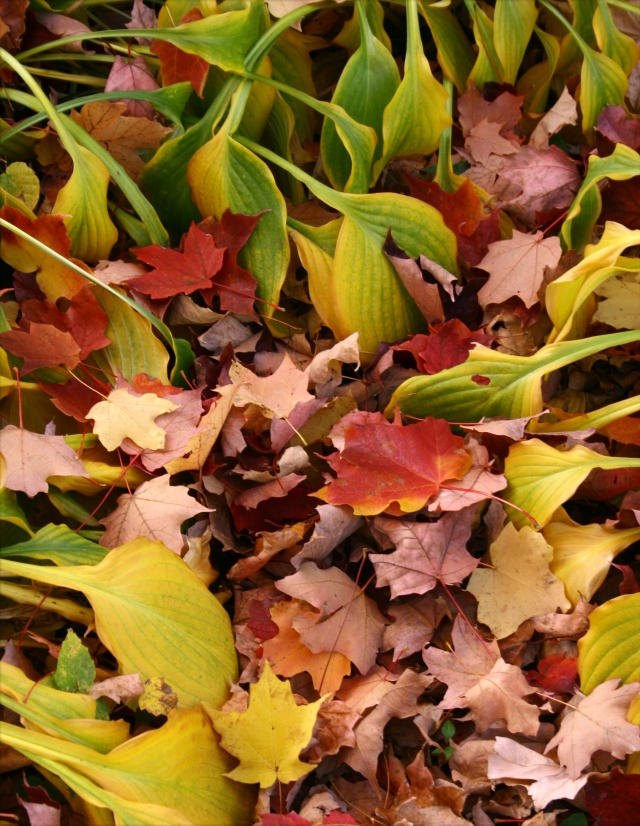 Maple and hosta leave mix, Plymouth