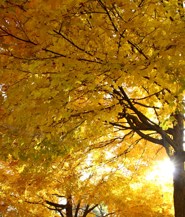 Maple Canopy, Plymouth