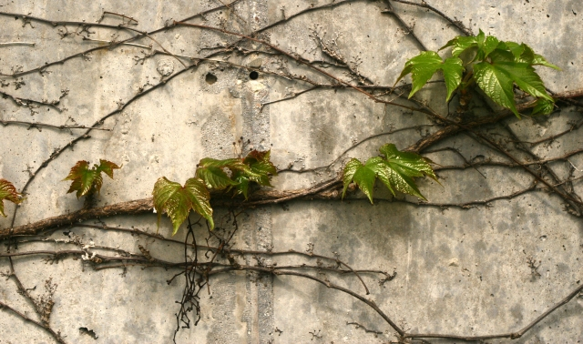 Vine leaves spring out, Ridgedale Library