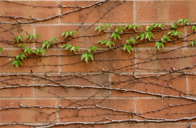 Vines across the brick wall, Ridgedale Library