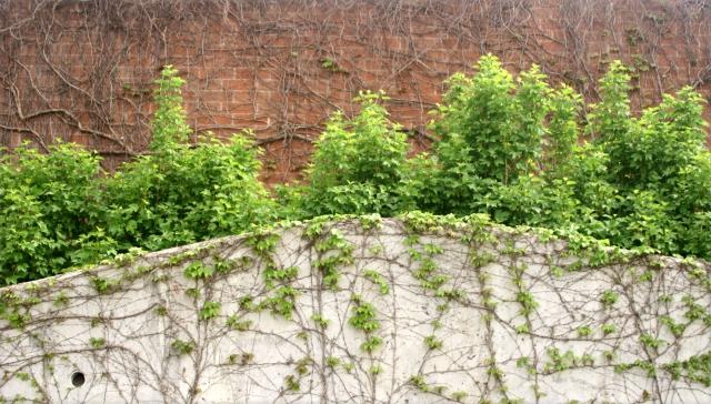 Vines and bricks 002, Ridgedale Library