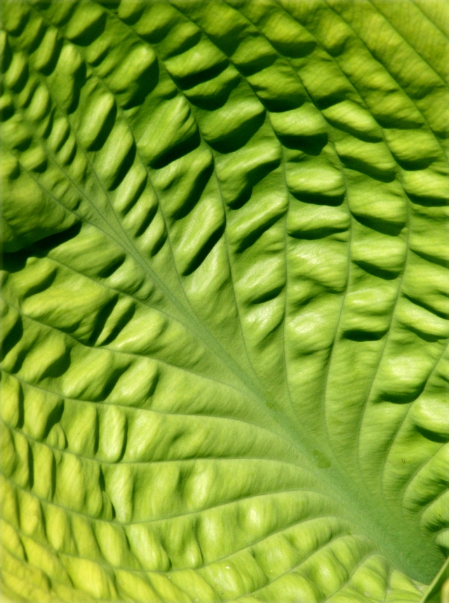 Abstract study Hosta leaf - MN Arboretum 002