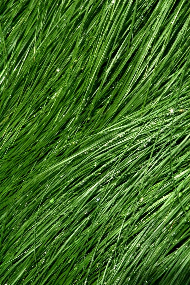 Fine dewey grass