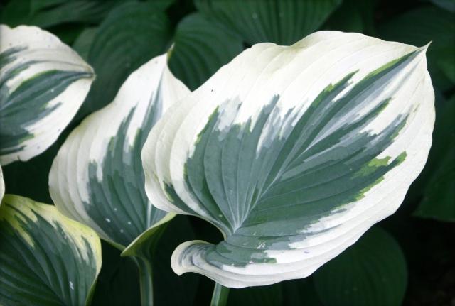Hosta leaves study, MN Arboretum