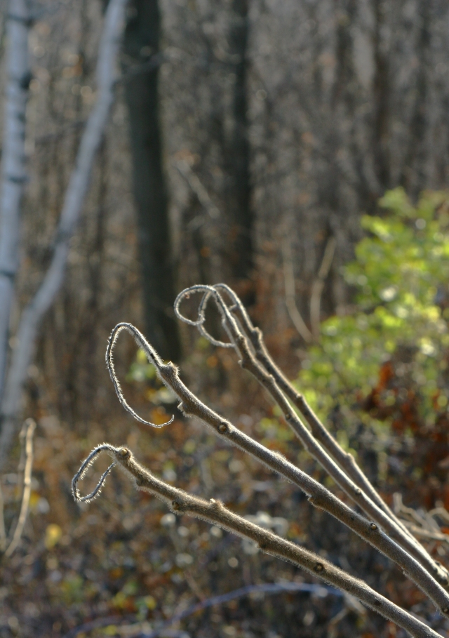 Fuzzy loops, sumac branches, Great Bluff State Park