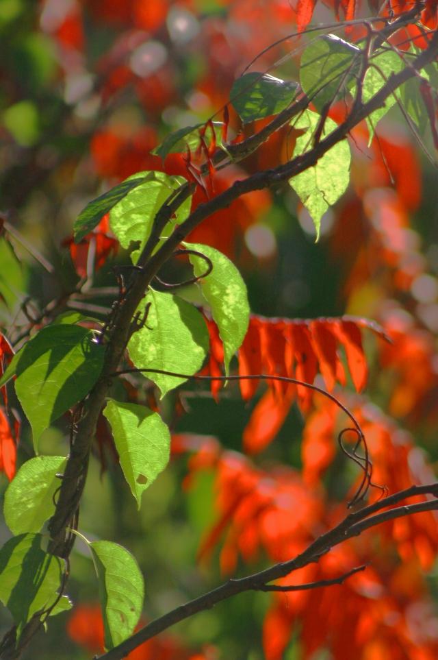 Green vine among the red sumac, MN River Bluffs bike trai 002l