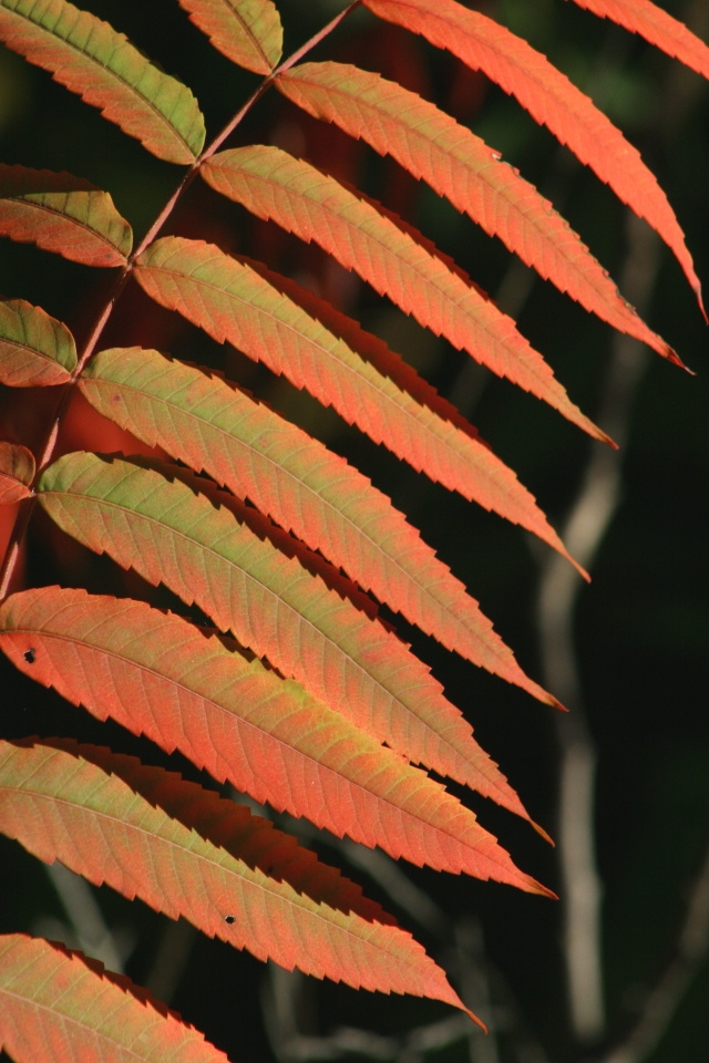 Study of Sumac leaves turning crimson 002