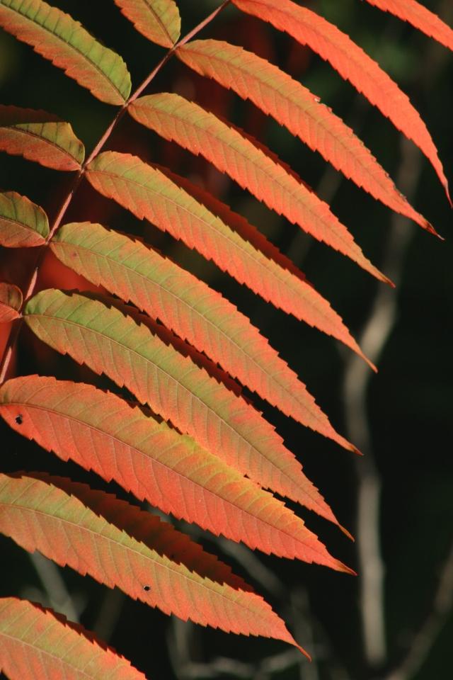Study of Sumac leaves turning crimson 002