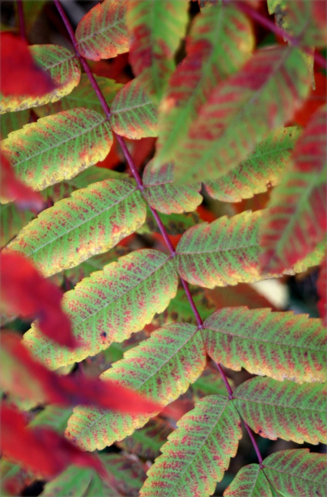 Sumac at first turn to red