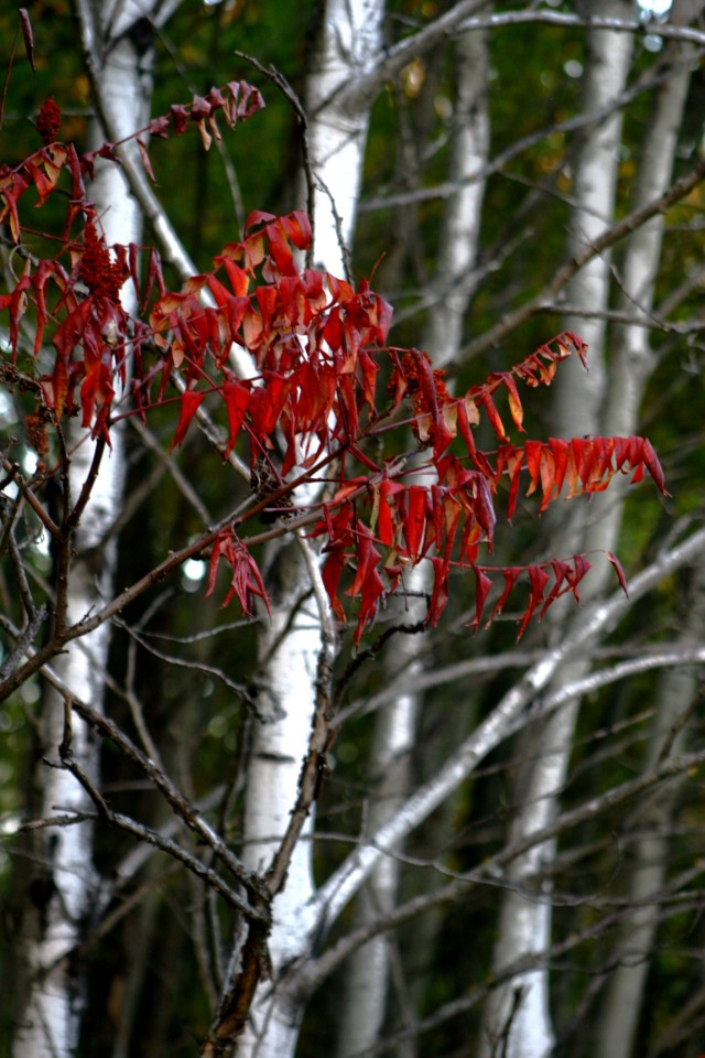 Sumac brights some dull birches, Crow Hassan