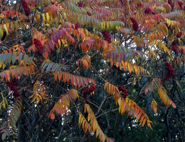 Sumac in various hues, Parkers Lake