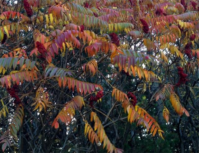 Sumac in various hues, Parkers Lake