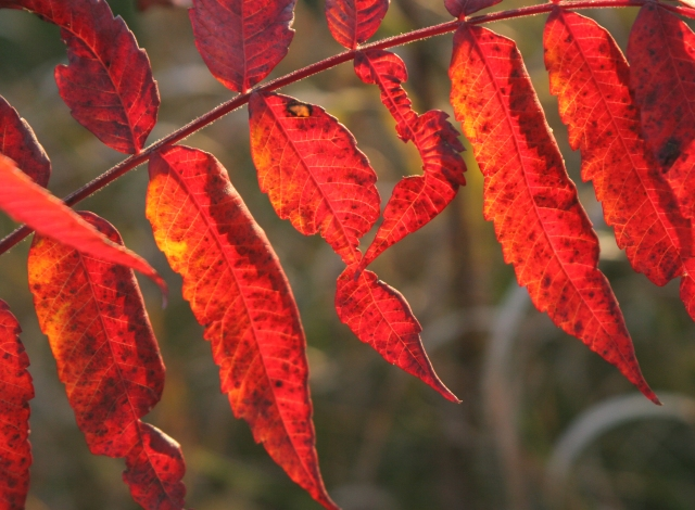 Sumac leaves on red alert