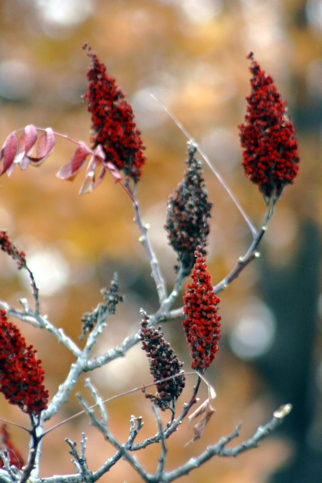 Sumac seed heads in two colors