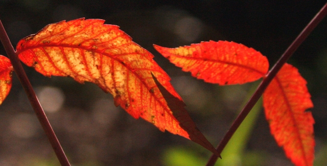 tight crop of sumac leaves