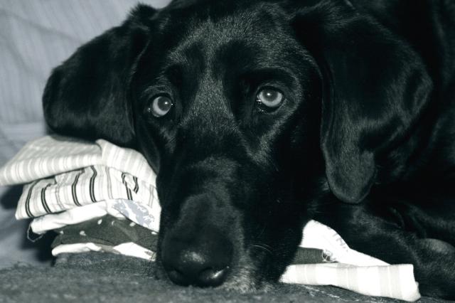 Boxer Pillow #3