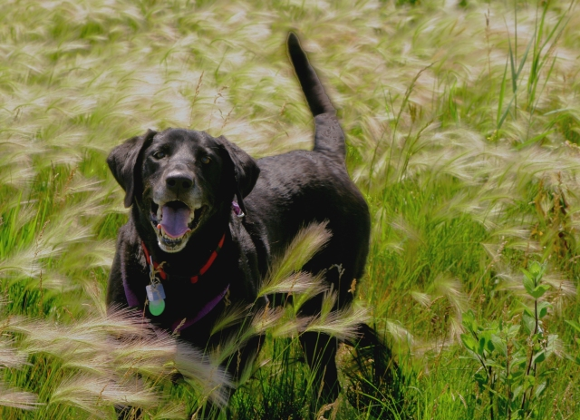 Junior in a bed of grasses, General Mills Nature Reserve'