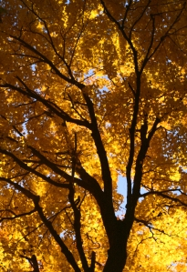 Canopy of yellow 002, Baker Park