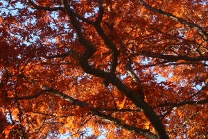 Crimson hide tide of leaves, Baker Park