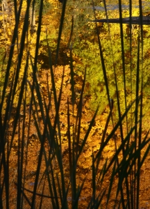 Fall reflection thru cattail reeds, Baker Park