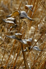 Milkweed grey and amber grasses