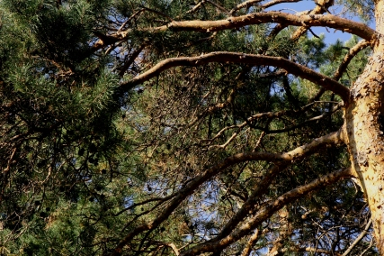 Branching out, Como Park Evergreen