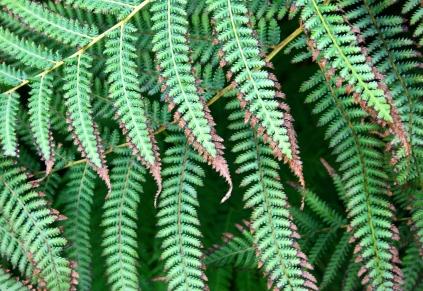Fern with some leaf burn, Como Conservatory