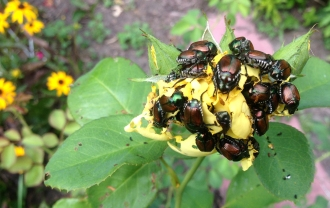 The attack of the Japanese Beetles