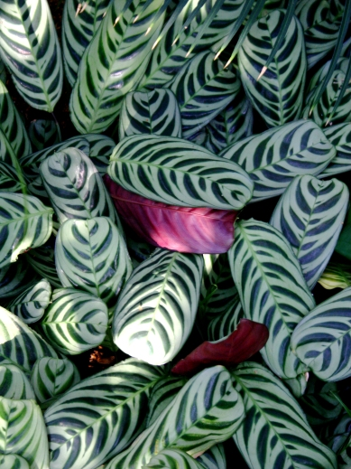 Varigated leaves, Como Conservatory
