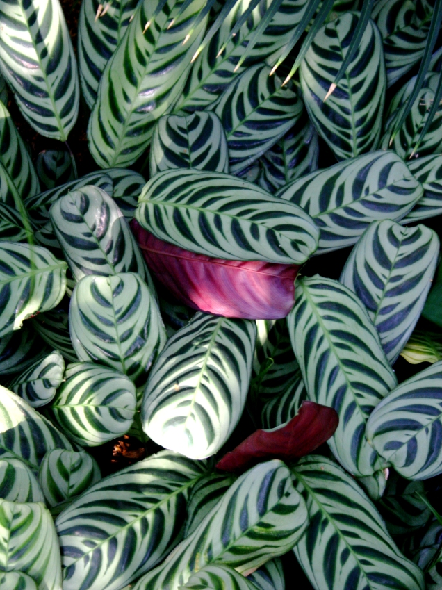 Varigated leaves, Como Conservatory