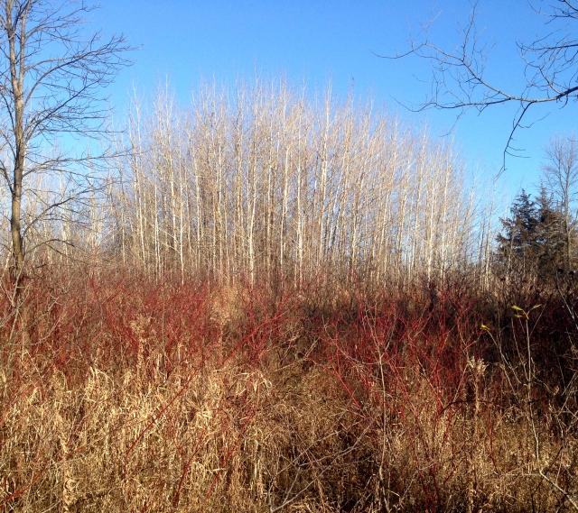 A stand of aspen trees Elm Creek Regional Park