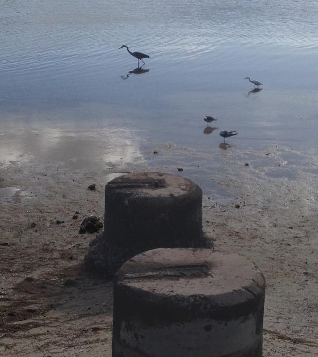Birds at low tide, Tampa Bay